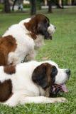 Bernhardiner-Hunde Lizenzfreie Stockbilder