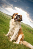 Bernhardiner-Hundesitzen Lizenzfreies Stockfoto