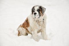Bernhardiner im Schnee stockbild