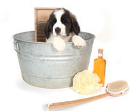 Bernhardiner-Welpe in einem Washtub für Bad-Zeit Lizenzfreie Stockfotos