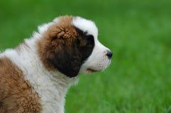 Bernhardiners Hundewelpe Stockfoto