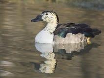 Bernoccolo de Anatra dal (melanotos de Sarkidiornis) Imagens de Stock Royalty Free