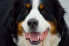 Berns Swiss Dog Stock Images