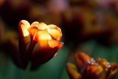 Bernsteinfarbig-rote Tulpe mit glühendem Effekt des Lichtes Stockfoto
