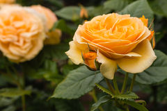 Bernsteinfarbige Rosen der gelben Königin in der Blüte Lizenzfreie Stockfotografie
