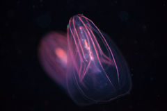 Beroe spp - Comb Jellyfish. One Beroe spp - Comb Jellyfish stock image