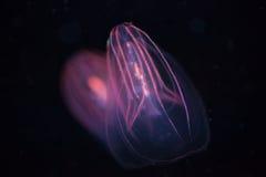 Beroe spp - Comb Jellyfish Stock Image