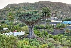 Beroemd Dragon Tree Drago Milenario in Icod de los Vinos - Tenerife royalty-vrije stock foto's