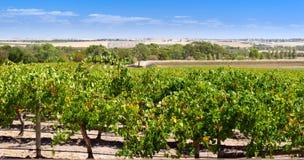 De Wijngaard van de Vallei van Barossa Stock Foto's