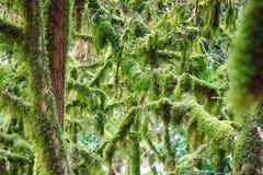 Beroemde colchica subtropische altijdgroen van Bukshoutcolchis Buxus royalty-vrije stock foto