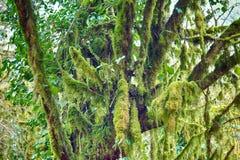 Beroemde colchica subtropische altijdgroen van Bukshoutcolchis Buxus stock afbeeldingen