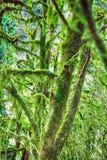 Beroemde colchica subtropische altijdgroen van Bukshoutcolchis Buxus stock afbeelding