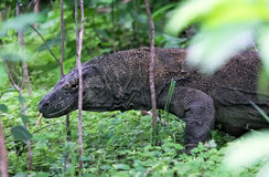 Beroemde draakhagedis, Eiland Komodo (Indonesië) Royalty-vrije Stock Foto's