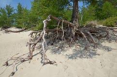 Beroemde het lopen bomen in Sandy Bay op de kust van Meer Baikal Stock Foto