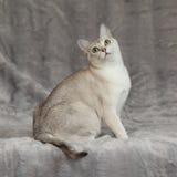 Überraschendes Burmilla vor silberner Decke Stockfoto