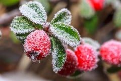 Berrie congelato dell'agrifoglio fotografia stock libera da diritti
