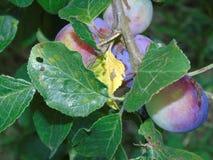 Berrie di luccichio in parco di Hertfordshire Fotografia Stock