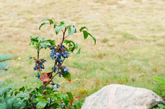 Berrie plant Royalty Free Stock Photography