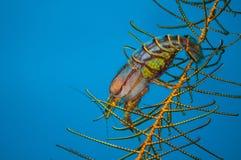 Berried-Garnele in Gorontalo, Indonesien-Unterwasserfoto Lizenzfreies Stockfoto
