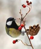 berried tit ветви большой Стоковые Изображения RF
