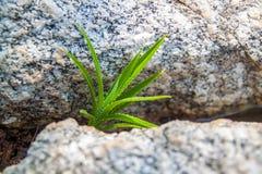 Πράσινη νέα αύξηση της πιό berrier ανάπτυξης από το αμμοχάλικο και τις πέτρες στοκ φωτογραφία