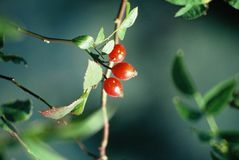 Free Berries Stock Photos - 1433