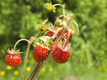 Berries. A delicious strawberry ripens under a summer sun in-field royalty free stock photography