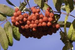 Berries. Rowan Berries in Autumn in Norway Royalty Free Stock Image
