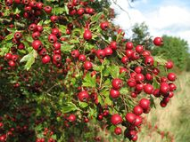 Berries. Loads of bright red hawthorn berries Royalty Free Stock Images