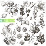 Berries stock illustration