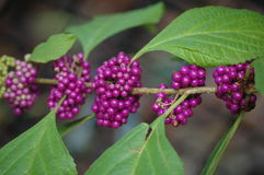 Berries. A beauty berry bush near the river stock image