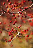 Berries. Autumn hawthorn berries, Crataegus oxycantha, bright red, shallow DOF royalty free stock photo