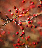 Berries. Autumn hawthorn berries, Crataegus oxycantha, bright red, shallow DOF Royalty Free Stock Images