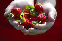 Berries. Two hands holding a bunch of ripe strawberries Stock Image