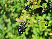 Berries of alder buckthorn (Frangula alnus) Stock Photography