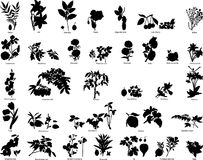 Free Berries And Flowers Silhouettes Royalty Free Stock Photos - 7893808