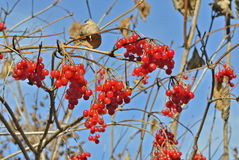 Berries of arrow-wood 22 Royalty Free Stock Photo
