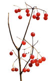 Berries of arrow-wood 5 Stock Photos