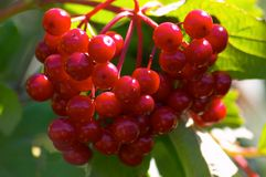Berries of arrowwood. Close-up Royalty Free Stock Images