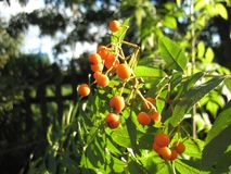 Berries of ashberry Royalty Free Stock Photography