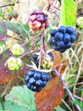 Berries Azhini forest in the autumn forest. royalty free stock images