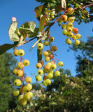 The berries of barberry (Berberis) in the park royalty free stock photography