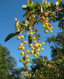 The berries of barberry (Berberis) in the park Royalty Free Stock Image