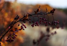Berries of barberry on branch autumn background royalty free stock image