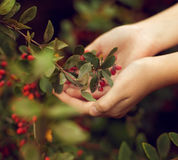 The berries of barberry in children`s hands. The care of plants. Stock Photo