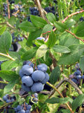 The berries of the bilberry. The ripe berries of the bilberry of garden on the bush Royalty Free Stock Photography