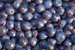Berries of bilberry Stock Images