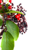Berries of  bird cherry Stock Photography
