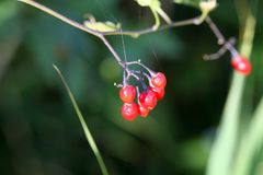 Berries of a bittersweet nightshade Stock Image