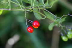 Berries of a bittersweet nightshade Royalty Free Stock Photography